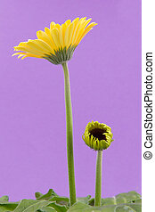 Yellow gerbera flower isolated on a purple background