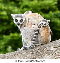 Ring-tailed lemur in captivity, young on back