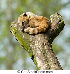 Sleeping coatimundi in a tree zoo, Holland