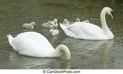 Cygnets are swimming in the water with their parents