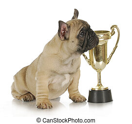 dog with trophy - winning dog - french bulldog puppy sitting...