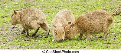 Capybara (Hydrochoerus hydrochaeris) grazed on a green lawn