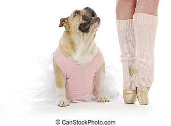 dancing dog - english bulldog in tutu sitting beside...