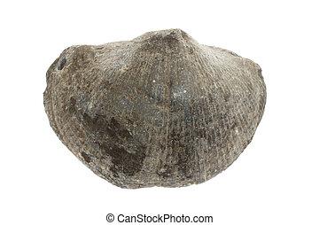 grande, fósil, cáscara