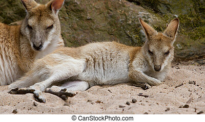 Two kangaroos resting in the sand (Holland)