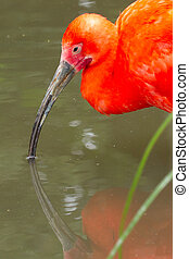 Young Scarlet Ibis, Eudocimus ruber wading though the water