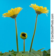 Yellow gerbera flower isolated on a blue background