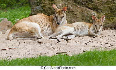 Two kangaroos resting in the sand