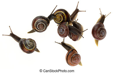 Group of garden snails Helix aspersa isolated on a white...
