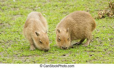 Capybara Hydrochoerus hydrochaeris grazed on a green lawn