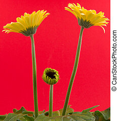 Yellow gerbera flower isolated on a red background