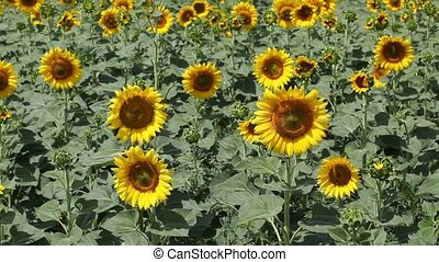 Agriculture - Sunflowers with insects, bees  in a field