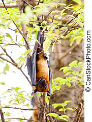 Black flying-fox - A giant bat hangs upside down from a...