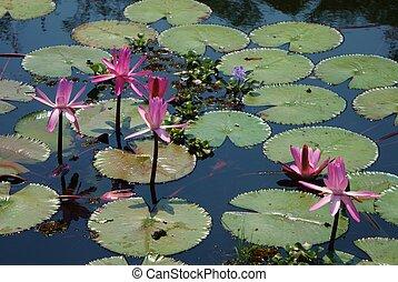 Waterlilies - Pond of waterlilies