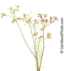 plant cumin - fresh plant of unripe cumin on white...