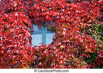 Window in fall - Window surronded by red Virginia creeper in...