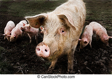 Pig with kids