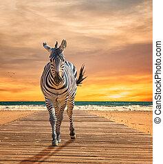 Zebra Walking On Wooden Plank