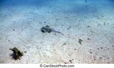 Blue Spotted stingray swims