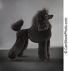 standard poodle on grey background