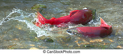 salmon spawning - Male and female sockeye salmon (red...