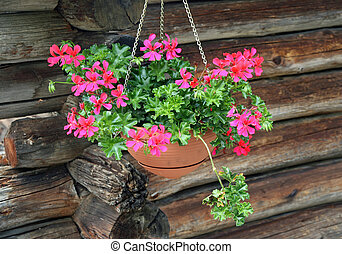 potted Geraniums hanging near the log cabin
