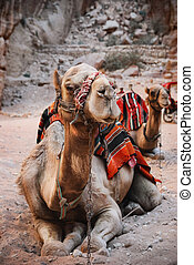 Camels in town of Petra, Jordan