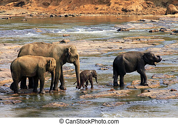 Family of Indian elephants. Pinnawela Elephant Orphanage on...