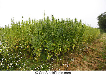 hemp field - hemp cannabis field in france