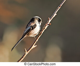 Long Tailed Tit perched on a branch.