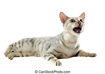 aggressive bengal cat - portrait of an aggressive bengal cat...