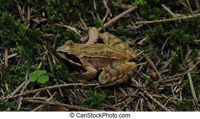 agile frog, Rana dalmatina - agile frog sitting in the green