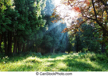 Morning rays through the trees in the forest.