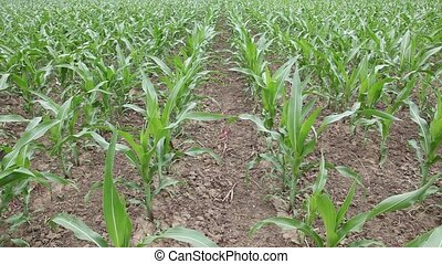 Agriculture - Corn plant in spring
