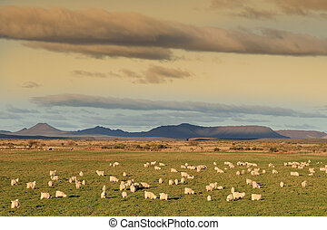 Angora goats - Rural landscape with a flock of Angora goats...