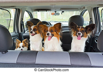 Four Papillon in car - Four dogs of breed Papillon inside a...