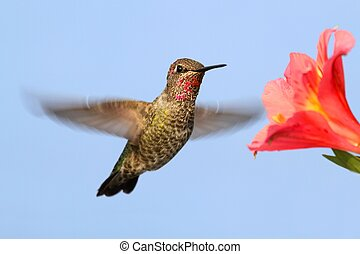 Annas Hummingbird (Calypte anna) in flight with a flower and...
