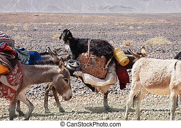 Donkeys of nomads carrying goods and a goat through stony...