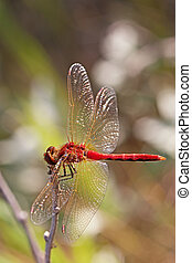 Red-veined Darter  - Red-veined darter resting on a twig