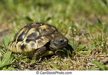 little turtle - beautiful little turtle herman in green...