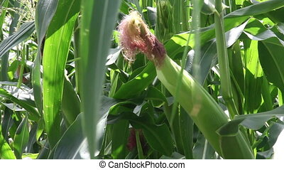 Corn plants in a field - Zooming out from an ear of corn