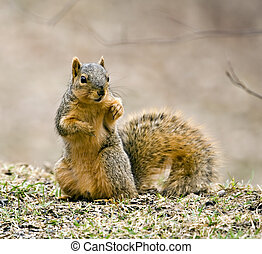Squirrel - Fox squirrel sciurus niger sitting up on the...