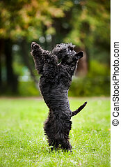 Cute dog standing on his hind legs - Cute miniature...