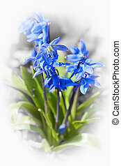 Glory of the snow flowers - Blue flowers on glory of the...