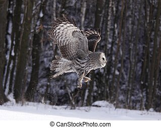 Great Grey Owl or Lapland Owl lat. Strix nebulosa - Lapland...