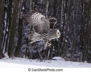 Great Grey Owl or Lapland Owl lat. Strix nebulosa - Lapland...