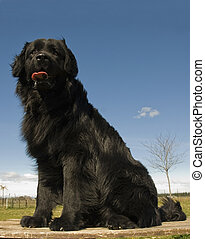 newfoundland dog - portrait of a beautiful purebred...