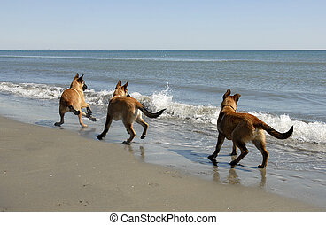 three malinois and the sea - three puppies belgian shepherd...