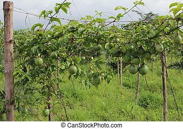 Passiflora foetida