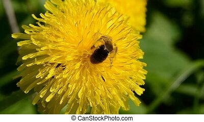 one bee on yellow dandelion